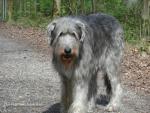 Irish Wolfhound Ecke